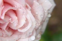 浅粉红色上升了 免版税库存照片