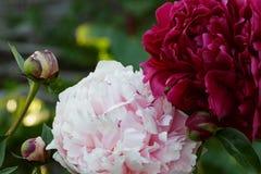 浅粉红色和伯根地牡丹 图库摄影