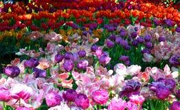 浅粉红色和橙色Tul; ips 免版税库存图片