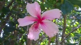 浅粉红色庭院的花 免版税图库摄影