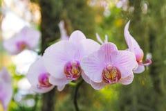 浅粉红色的兰花植物兰花 免版税库存照片