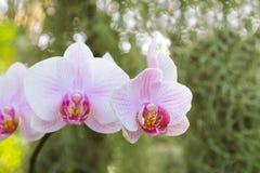 浅粉红色的兰花植物兰花 免版税库存图片