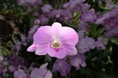 浅粉红色的兰花花 免版税库存照片