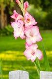 浅粉红色的剑兰花,特写镜头 库存照片