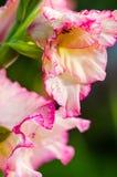 浅粉红色的剑兰花,特写镜头 免版税库存图片