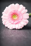 浅粉红色的大丁草雏菊,低调在黑色 免版税图库摄影