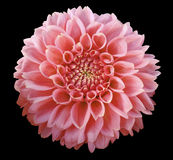 浅粉红色的大丽花花,黑背景隔绝与裁减路线 特写镜头 免版税库存图片