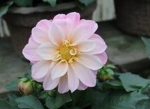浅粉红色的大丽花 免版税库存照片