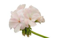 浅粉红色的大竺葵 免版税库存照片