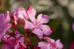 浅粉红色的夹竹桃开花的束关闭  免版税库存照片