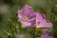 浅粉红色的夹竹桃开花的束关闭  库存图片
