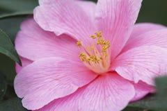 浅粉红色的山茶花开花 库存图片