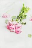 浅粉红色的春天ranunkulus在白色大理石背景开花 免版税库存照片