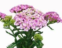 浅粉红色的欧蓍草有白色背景 免版税库存照片