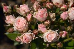 浅粉红色的玫瑰关闭  免版税库存照片