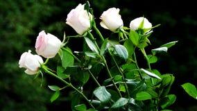 浅粉红色的玫瑰 库存照片