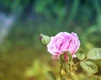 浅粉红色的玫瑰 免版税图库摄影