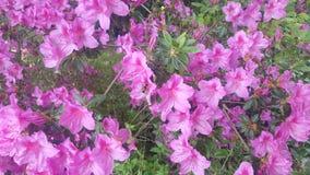 浅粉红色的花 秀丽本质上 库存图片