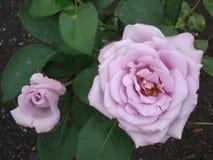 浅粉红色的茶大花在庭院里上升了在夏天 库存照片