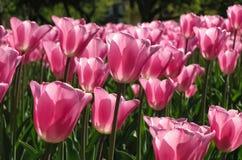 浅粉红色的郁金香在明亮的阳光下 库存照片