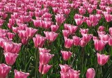 浅粉红色的郁金香2群 库存图片