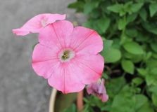 浅粉红色的Calibrachoa 库存图片