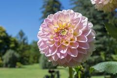 浅粉红色的Glenmarc苏菲大丽花 库存图片