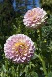 浅粉红色的Glenmarc苏菲大丽花 免版税库存照片