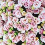 浅粉红色的Kalanchoe Bloss织布工花 免版税库存图片