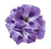 浅紫色的秋海棠花束在白色的隔绝了与裁减路线的背景 没有阴影的特写镜头 免版税库存照片