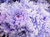 浅紫色的雏菊在百花香、背景和纹理开花 免版税库存图片