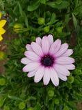 浅紫色的雏菊花 免版税库存图片