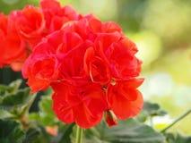 浅红色的大竺葵有绿色背景 免版税库存图片