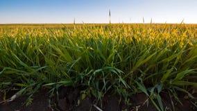 浅绿色,年轻麦子庄稼草在温暖的春天早晨太阳,宏观背景照片发芽 免版税图库摄影