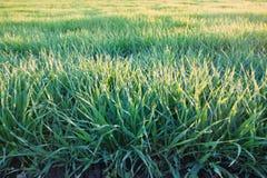 浅绿色,年轻麦子庄稼草在温暖的春天早晨太阳,背景照片的关闭发芽 图库摄影