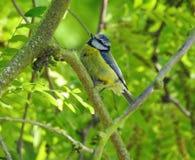 浅蓝色在树梢栖息的山雀鸟 免版税库存照片