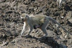 浅蓝色猴子 图库摄影