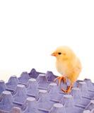 浅蓝色纸盒突出鸡的鸡蛋黄色 免版税库存照片