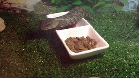 浅蓝色舌头蜥蜴吃 库存照片