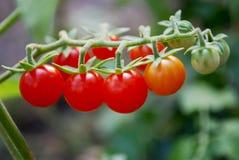浅蕃茄 免版税库存图片
