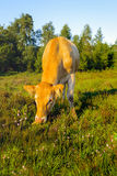 浅褐色的母牛在桃红色开花的石南花中吃草 免版税库存图片