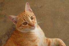 浅褐色的猫 图库摄影