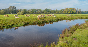 浅褐色的色的母牛在水中被反射 免版税库存照片