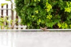 浅褐色的蚂蚱 免版税库存照片