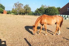 浅褐色的马在农场的一个草甸吃草 免版税库存照片
