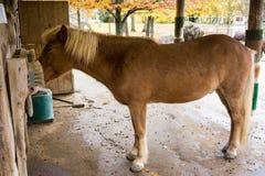 浅褐色的马在马厩 免版税库存照片
