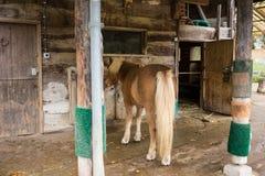 浅褐色的马在马厩 库存图片