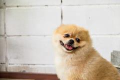 浅褐色的Pomeranian 库存照片