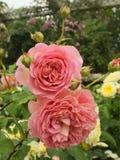 浅黄色的玫瑰 库存图片