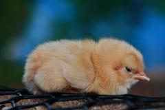 浅黄色的Orpington小鸡 免版税图库摄影